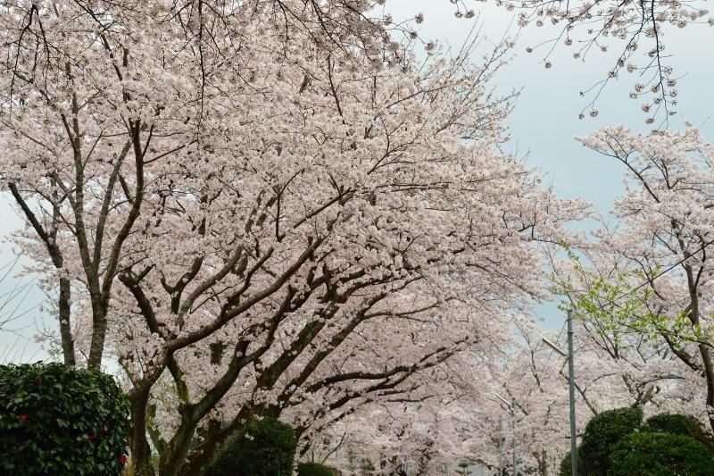 三隈高校の桜 (5)