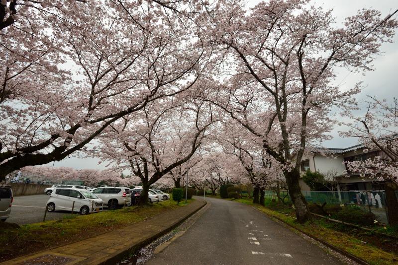 三隈高校の桜 (1)