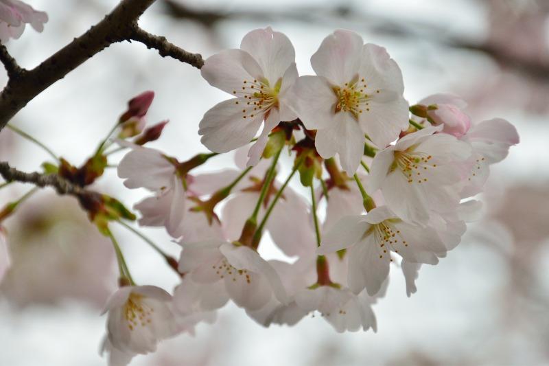 三隈高校の桜 (9)