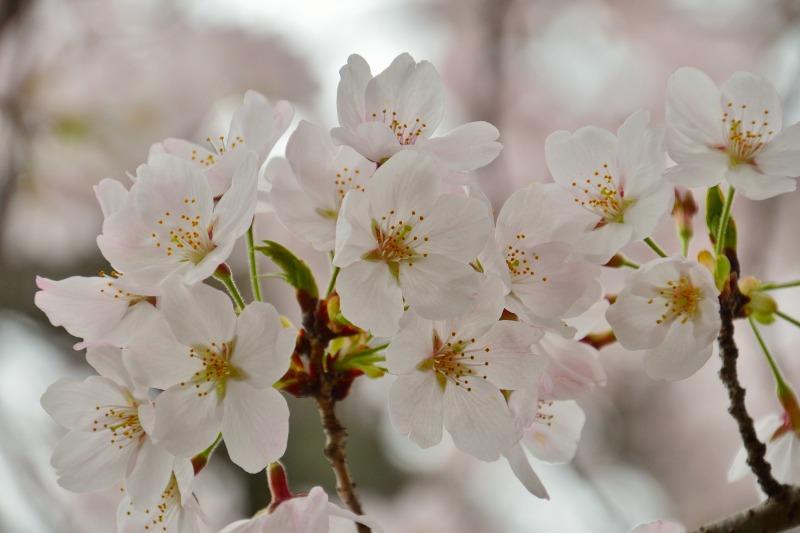 三隈高校の桜 (10)