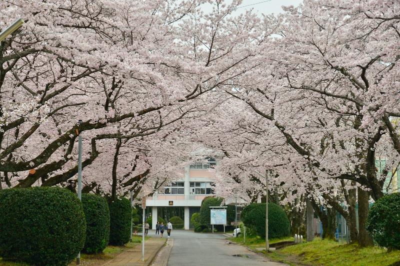 三隈高校の桜 (7)