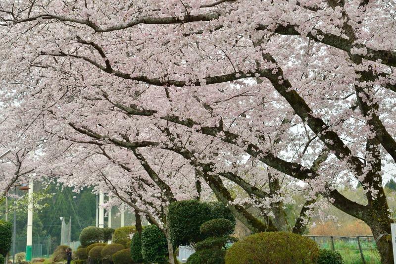 三隈高校の桜 (8)