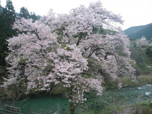2017年郡上の桜