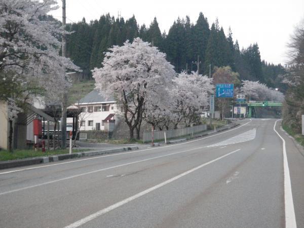 高鷲入り口の桜