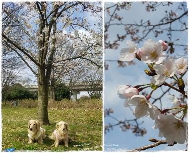2017桜--⑦-horz