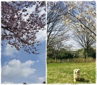 2017桜--⑤-horz