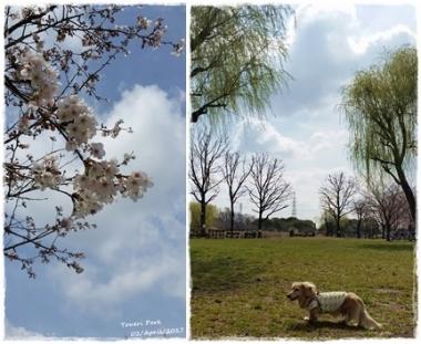 2017桜--①-horz