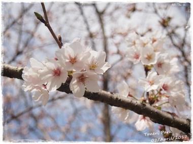 2017桜--3