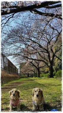 2017桜---11