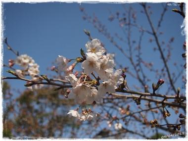 2017桜---2