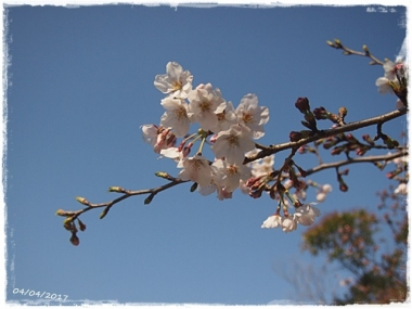 2017桜---1