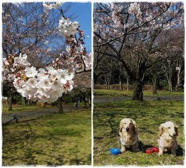 2017桜---③-horz