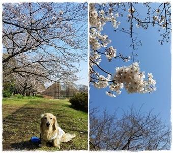 2017桜---②-horz