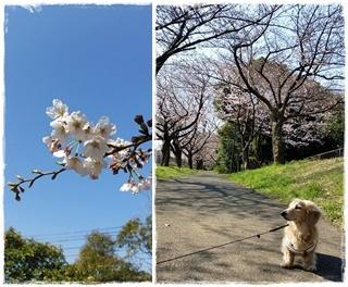 2017桜---①-horz
