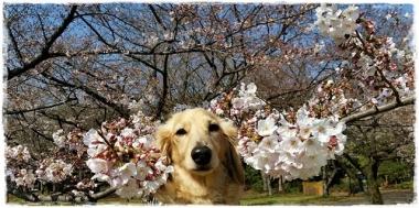 312017桜---