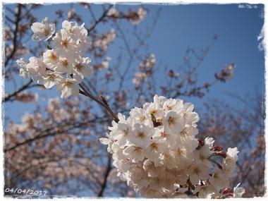 2017桜---30