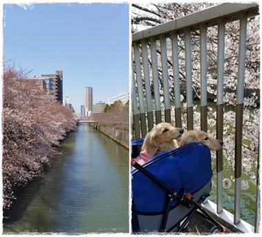 2017桜---⑦-horz