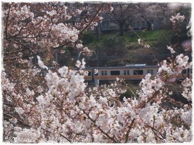 2017桜-----2