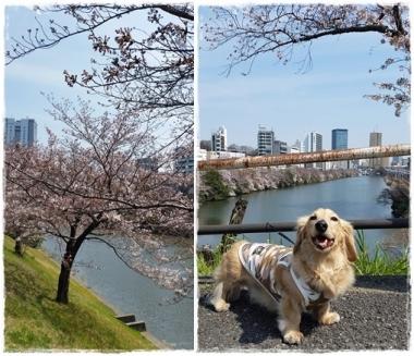 2017桜-----③horz