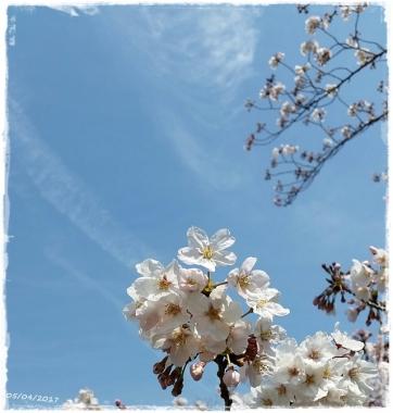 2017桜-----11