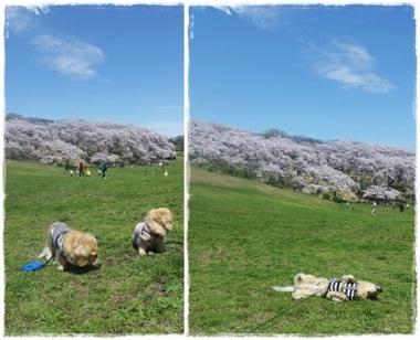 2017Y桜-①-horz