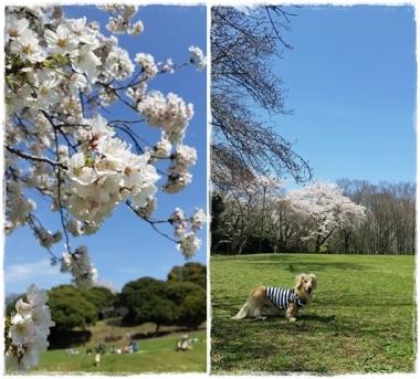 2017Y桜-⑦-horz