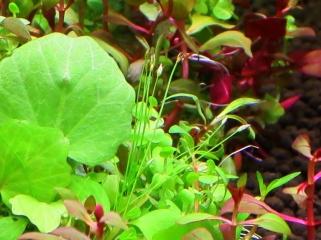 寄せ植え水草 拡大