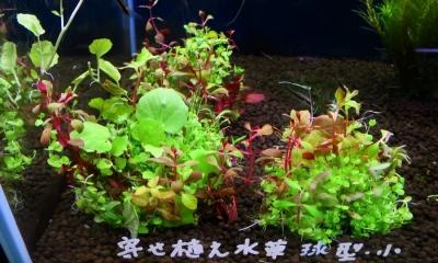 寄せ植え水草 球型 小