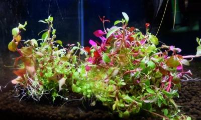 寄せ植え水草 球型(小)