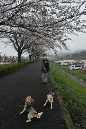 14桜の下のななとしゅう