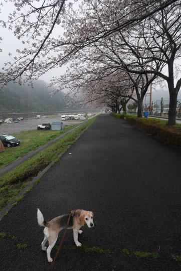 12桜の下のしゅう