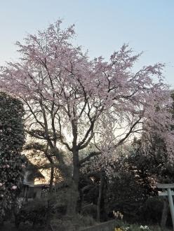 k宅枝垂桜
