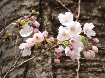 桜が一気に咲きましたね