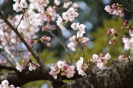 淡い色が可愛い桜