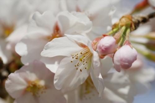 白っぽい桜 つぼみがかわいい