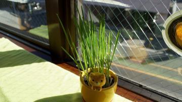 初めての猫草! その1 1