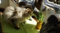 初めての猫草! その2 1