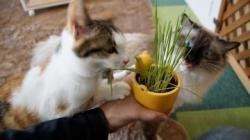 初めての猫草! その51