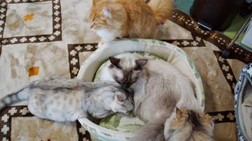 大きめな猫ソファー争奪戦! その3 4