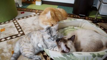 大きめな猫ソファー争奪戦! その4 2