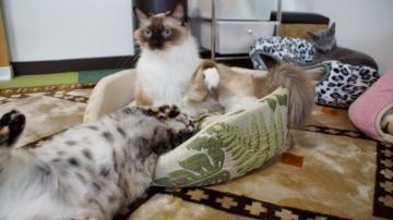 大きめな猫ソファー争奪戦! その7 4