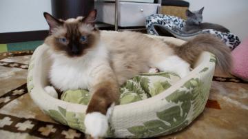 大きめな猫ソファー争奪戦! その7 6
