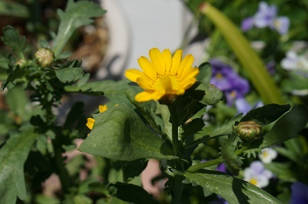 2017春菊の花