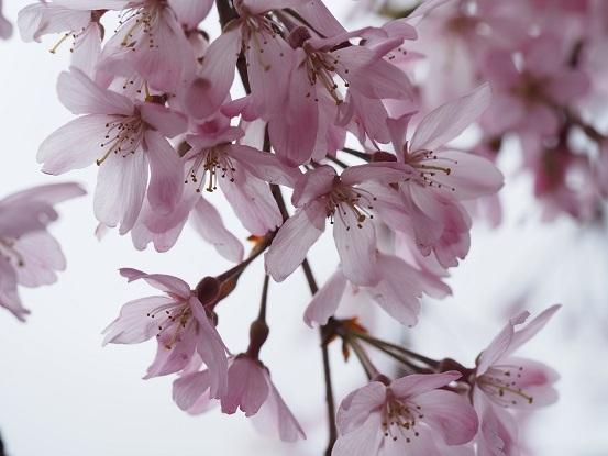 7枝垂れ桜