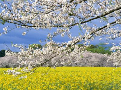 桜開花予想1