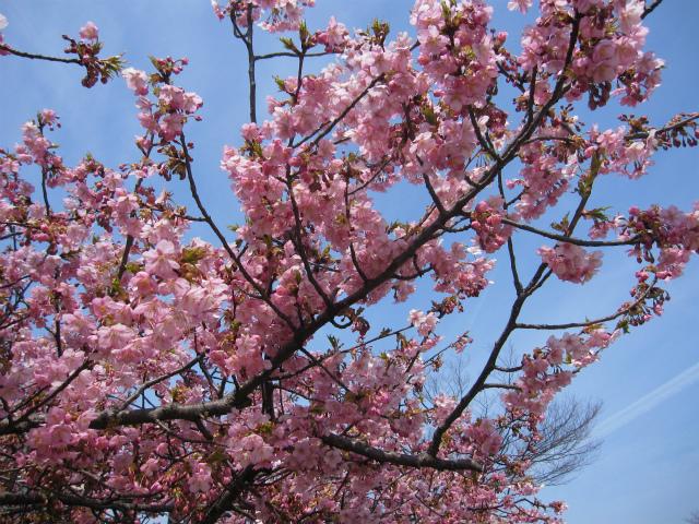 河津桜と青空1