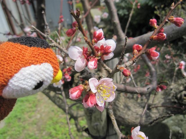 遅咲きの梅1