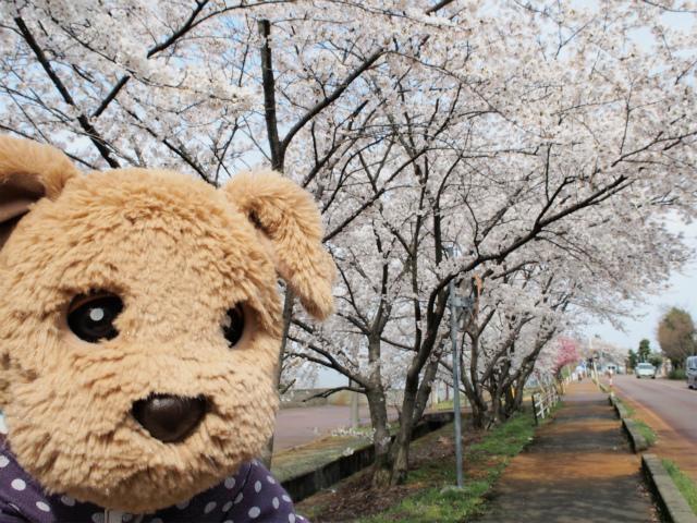 道沿いに桜並木
