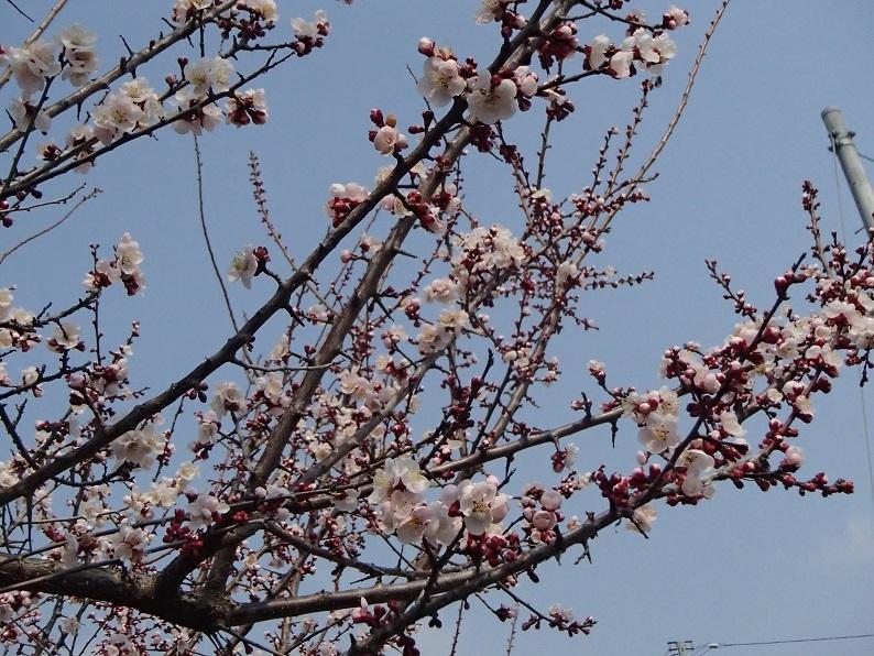 2017 3 19 梅の花3分咲 ブログ用.jpg