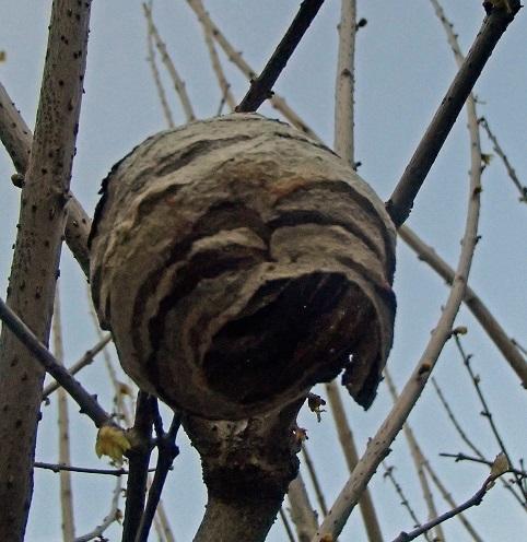2017 3 20 蜂の巣の抜け殻 ブログ用.jpg